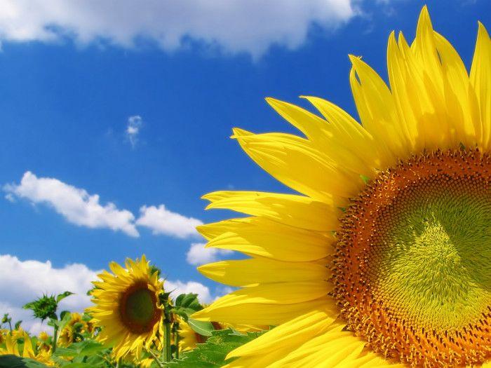 """""""A flor de girassol significa felicidade. A cor amarela ou os tons cor de laranja das pétalas simbolizam calor, lealdade, entusiasmo e vitalidade, refletindo a energia positiva do sol. No entanto, o girassol também pode representar altivez. Alguns dizem que ganhar um girassol é sinal de sorte."""""""