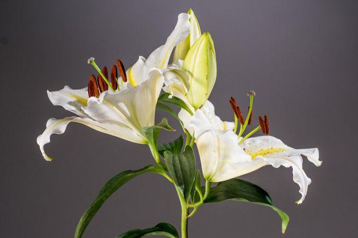 Lilie Goldband - Lilium Goldband günstig online kaufen #Fotografie #Foto #Natur #Blüte #schön #elegant #Blume #Closup #Pflanze #Stempel #Frühling #Sommer #Garten #pflanzen #Lilie