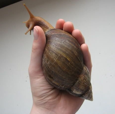 Giant African land snail - Reptile Forums.🌸💐Ideas, Nature and Art 🌸More Pins Like This At FOSTERGINGER @ Pinterest 🌺🌻🌸🌾