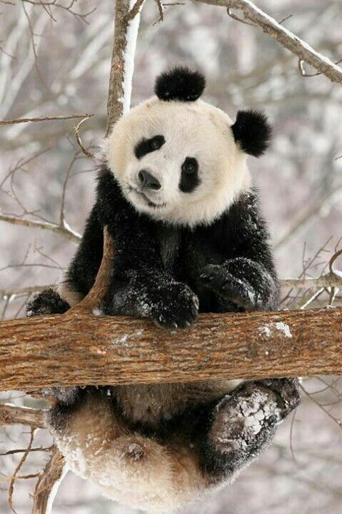 2607 best images about Pandas on Pinterest