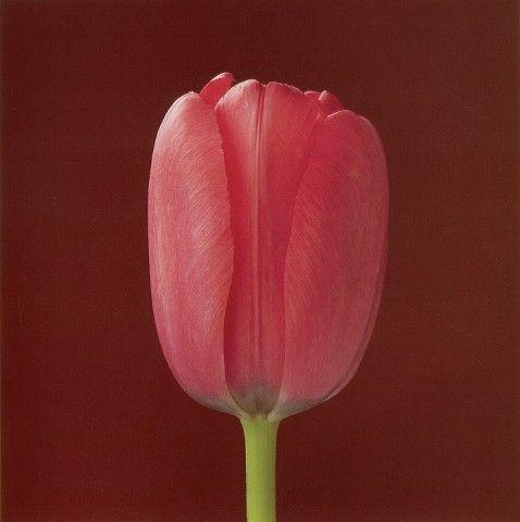 """Tulip"" by Robert Mapplethorpe"