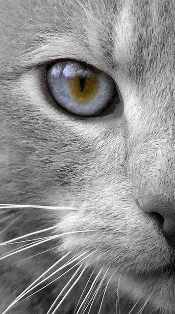 Best кошки Images On Pinterest Kitty Cats Beautiful Cats - This is pam pam the kitten with heterochromia with hypnotic eyes you just cant stop looking at