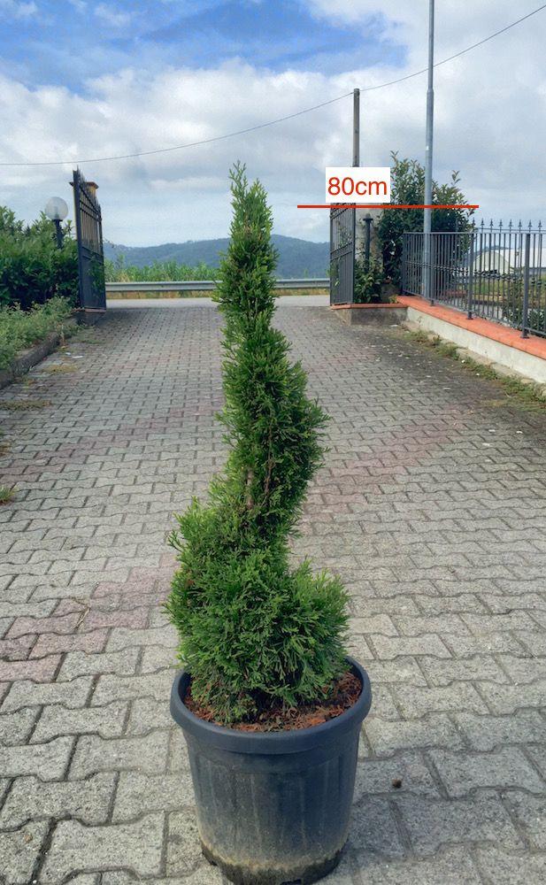 Thuja Occidentalis Smaragd a Spirale - Vendita Piante Online - CompraPiante by Piante Frosini
