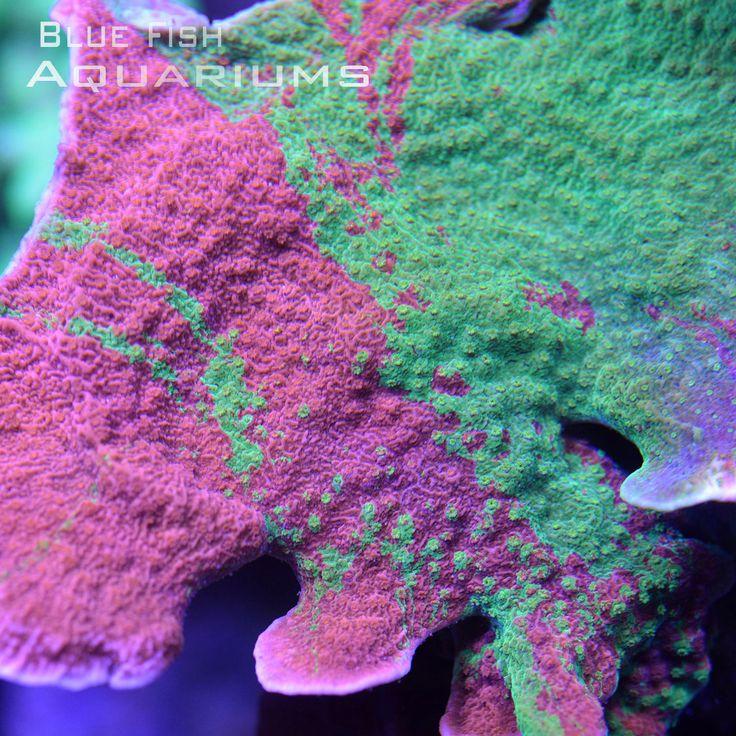 WWC Grafting Montipora: Montipora capricornis - Live Coral For Sale
