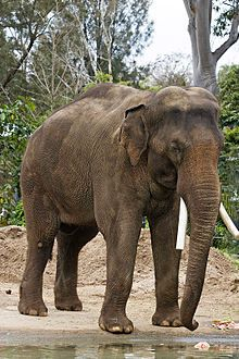 Asian elephants are somewhat smaller than their African cousins. One way to distinguish them is the smaller ears.