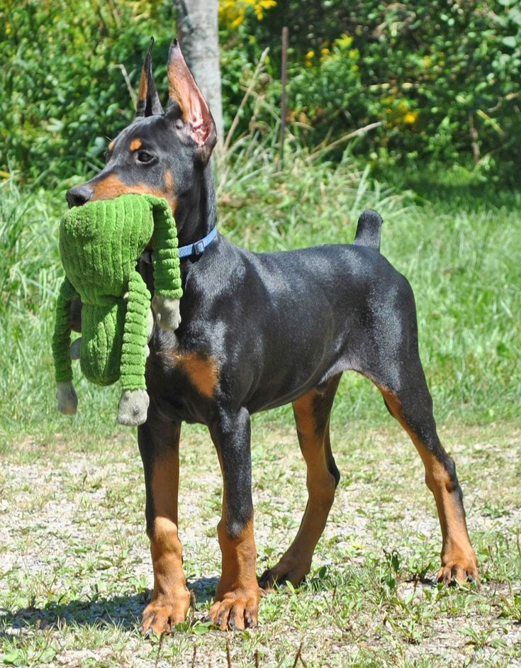 Doberman puppy cropped