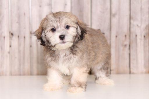 Zuchon puppy for sale in MOUNT VERNON, OH. ADN-40300 on PuppyFinder.com Gender: Male. Age: 10 Weeks Old