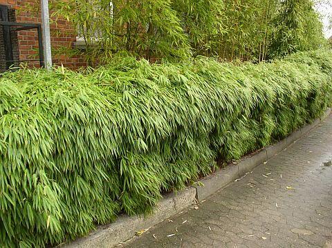 Články: zivy plot z bambusu | Zimovzdorné bambusy a pěstování bambusů u nás