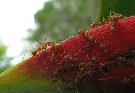 Ameisen / Kambodscha