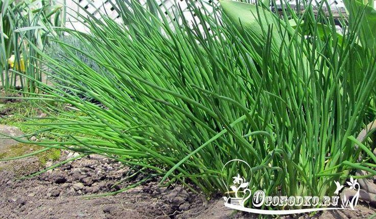 Лук - батун, - основы агротехники и полезные свойства.    Лук-батун – растение для огородников очень выгодное: стоит только посадить его один раз, и он будет каждый год, с ранней весны, радовать хозяев полезной и вкусной зеленью (http://ogorodko.ru).  Мало того, он будет расти все лето: можно сколько угодно срезать батун, но он отрастает снова и снова – до поздней осени.  Зимой же его и укрывать не надо: даже если нет снега, а морозы сильные, лук-батун перезимует отлично, и, как только…