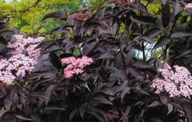 sort hyld sambucus nigra 39 guincho purple 39 black elder. Black Bedroom Furniture Sets. Home Design Ideas