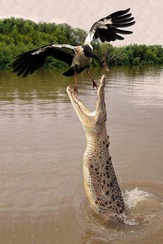 Darwin Territorio del Norte cocodrilo del agua salada