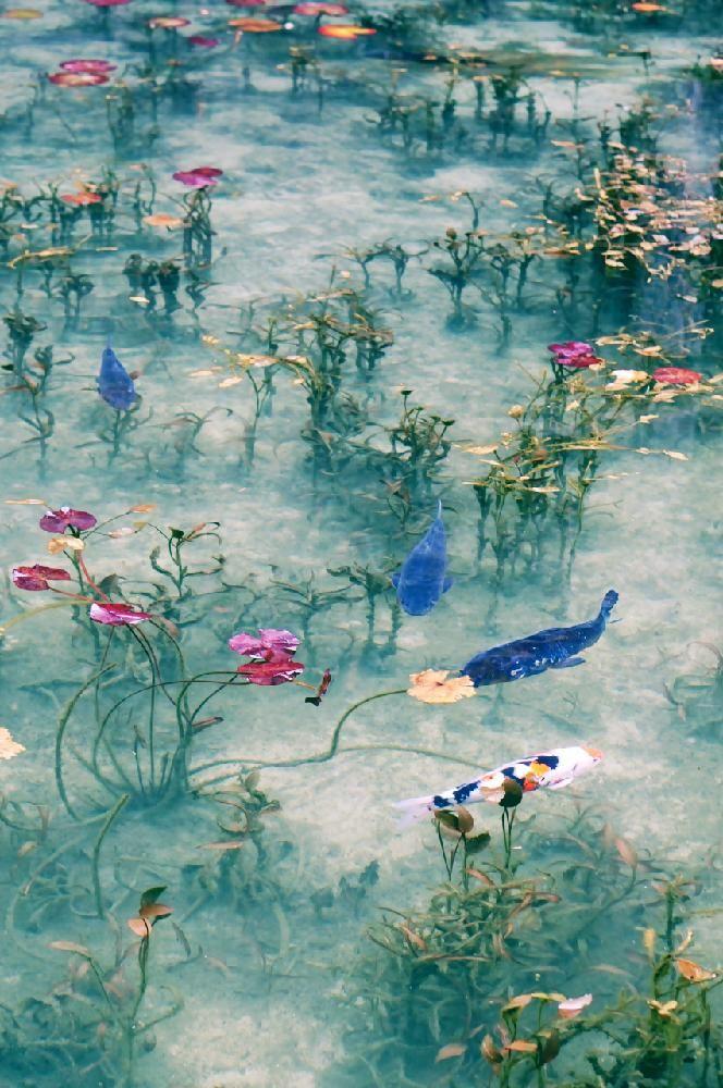 岐阜県関市板取白谷・根道神社・モネの池(喫茶店「風土や」の裏) お出かけ先の画像 by kaza33さん | お出かけ先とスイレンとボタニカルスポットコンテストと花のある暮らしと葉っぱアート