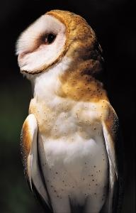 Barn Owl By Carol Freeman Mc Chicagotonightwttw IllinoisBarn OwlsEndangered SpeciesPostsMessages