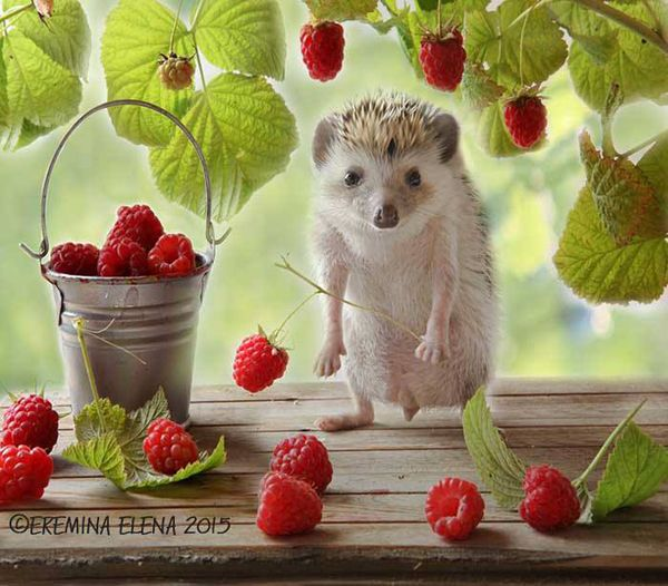 Hedgehog awestruck by raspberries ❤️