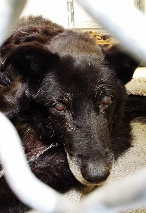 URGENT #A1592488  My name is Pepper and I'm an approximately 16 years, 8 month old male labrador retr. I am not yet neutered. I have been at the Carson Animal Care Center since January 2, 2015. I am available on January 2, 2015. You can visit me at my temporary home at CRECEIVING.  http://www.petharbor.com/pet.asp?uaid=LACO1.A1592488 Precious PEPPER was left at the shelter at 16 years old. He is very small and is spending his days curled up in a ball and he feels so betrayed...