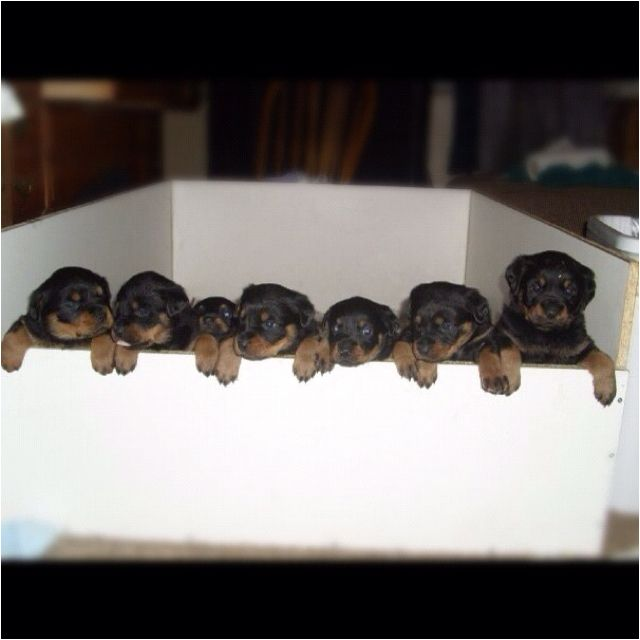 Baby Rottweilers