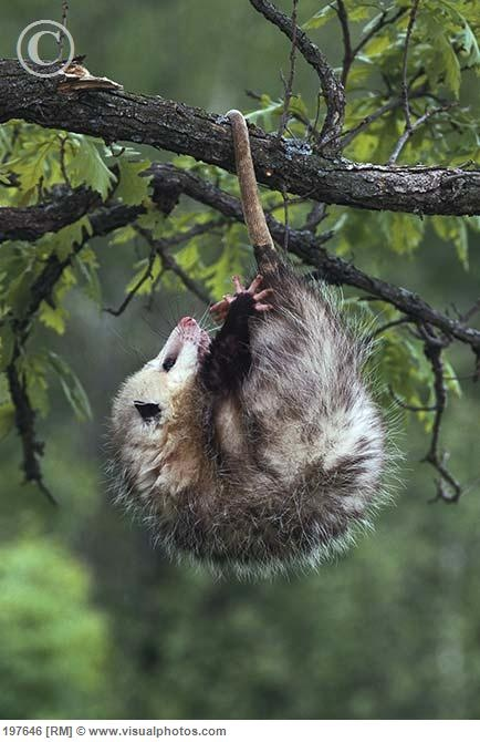 Opossums (Didelphimorphia) are the largest order of ...