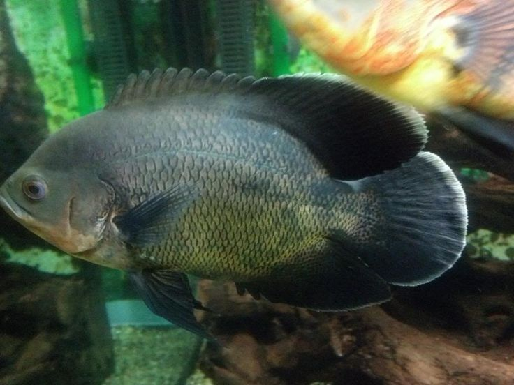 Oscar Fish Forum :: Topic: tiger Oscar lost his black color (
