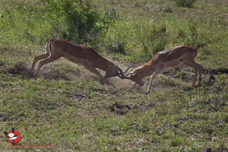 May is Impala rutting season in the #Kruger.