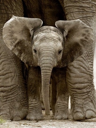 Safe cute: Elephants Baby, Africans Elephants, Cute Baby, Sweet, Baby Elephants, Big Ears, Pet, Baby Animal, Things