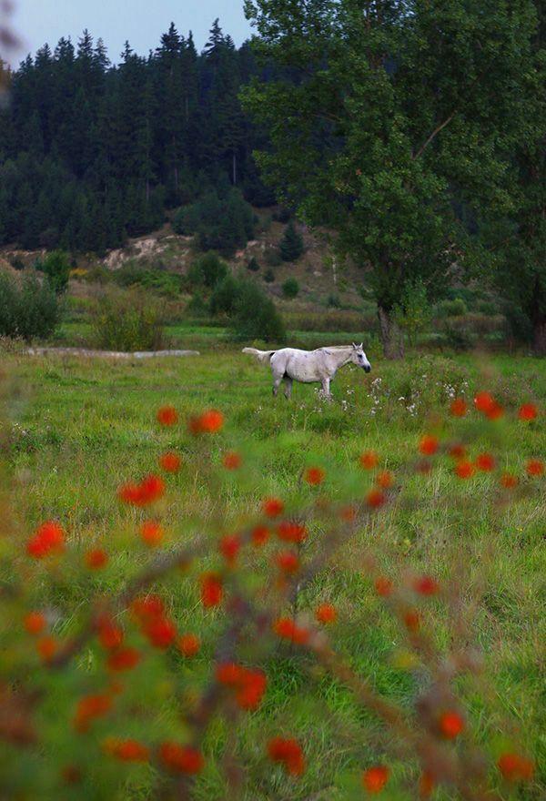 #white #horse