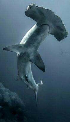 Hammerhead shark                                                                                                                                                                                 Más