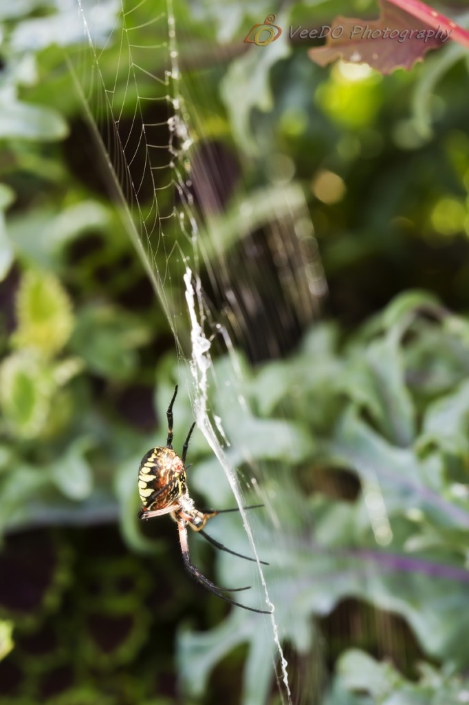 black and yellow argiope  #spider #365project #argiope http://www.veedophotography.com/036-project-365/