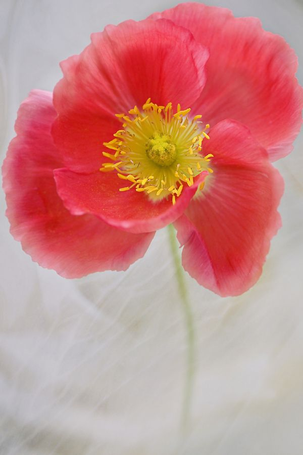 ~Poppy~ Photo by Jacky Parker