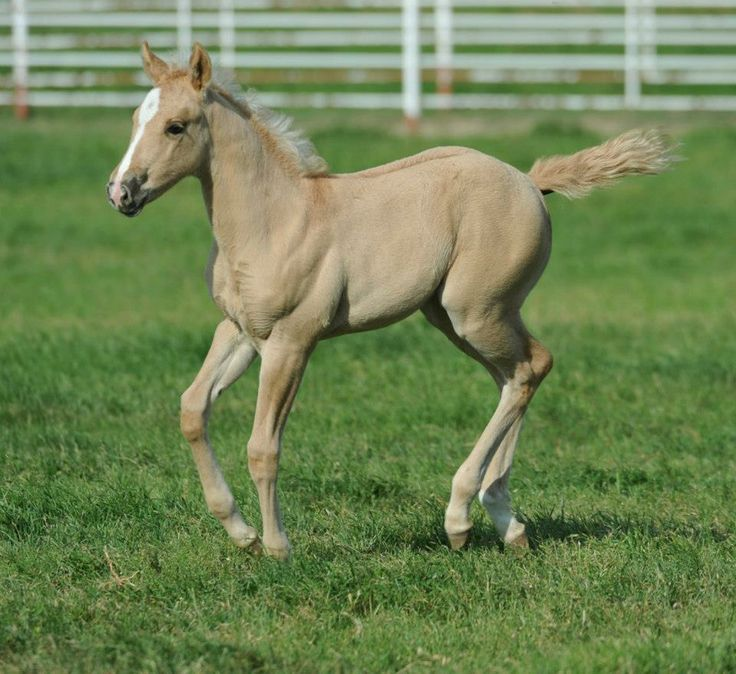 palomino foal - photo #17