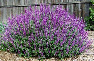 Σάλβια η μεξικάνα ή Σάλβια η Λευκάνθα  ο μόνο μειονέκτημά της είναι πως τον χειμώνα παγώνει. Όμως με ένα αυστηρό κλάδεμα ξανά βγαίνουν νέοι βλαστοί. Τα φύλλα της είναι γκριζοπράσινα.  Ανθίζει στα μέσα Σεπτέμβρη με όμορφα μωβ λουλούδια. Είναι κατάλληλο για νησιά και περιοχές που δεν υπάρχει πολύ νερό αφού έχει ελάχιστες απαιτήσεις σε νερό. Προτιμά σημεία με αρκετό ήλιο. Προσελκύει πεταλούδες και πουλιά. Δυστυχώς δεν το βρίσκουμε εύκολα ακόμα στην ελληνική αγορά.
