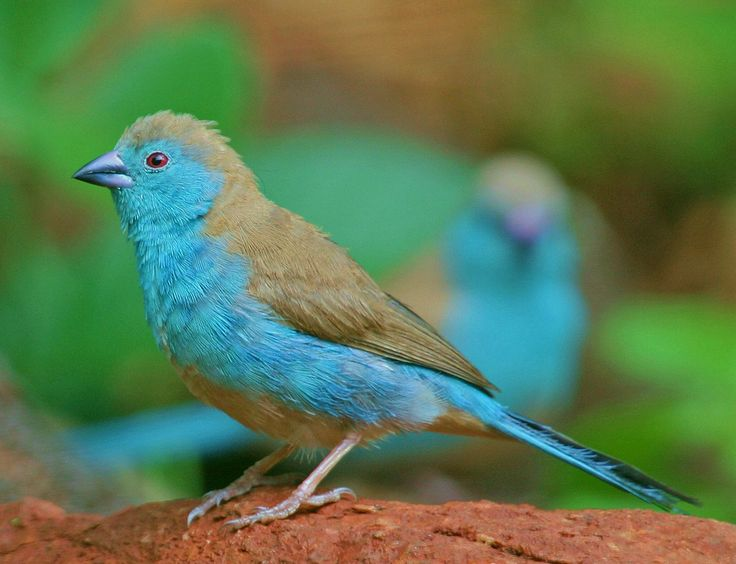 Blue Waxbill | by Layzeboy Photography Nature & Wildlife ©