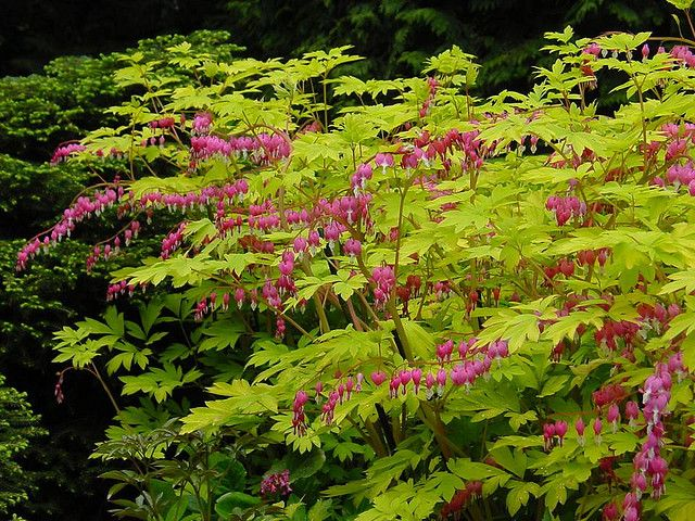 Dicentra spectabilis 'Gold Heart' --- stunning flowers and great foliage for the shade garden.