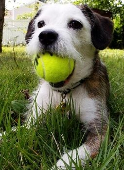 Difference between Parson, Jack Russell and Russell Terrier | Canidae Blog