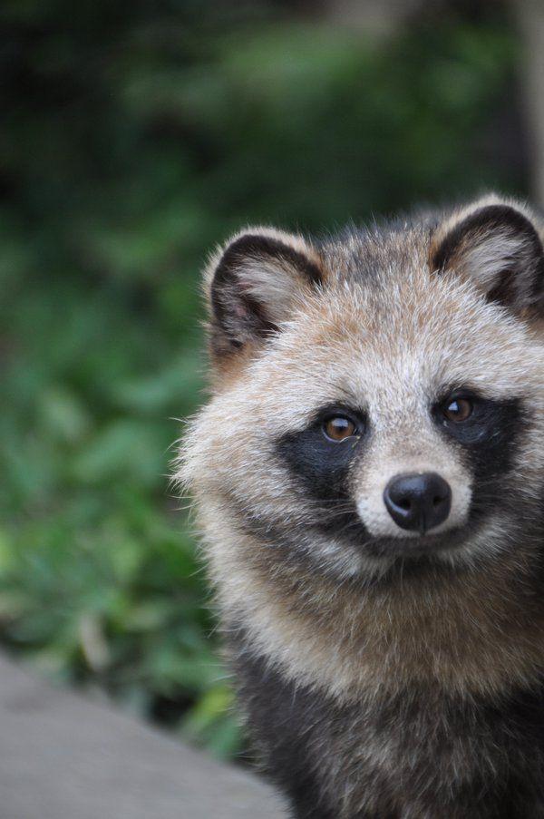 タヌキ / Raccoon dog. No, it is not a raccoon. It is closely related to foxes..