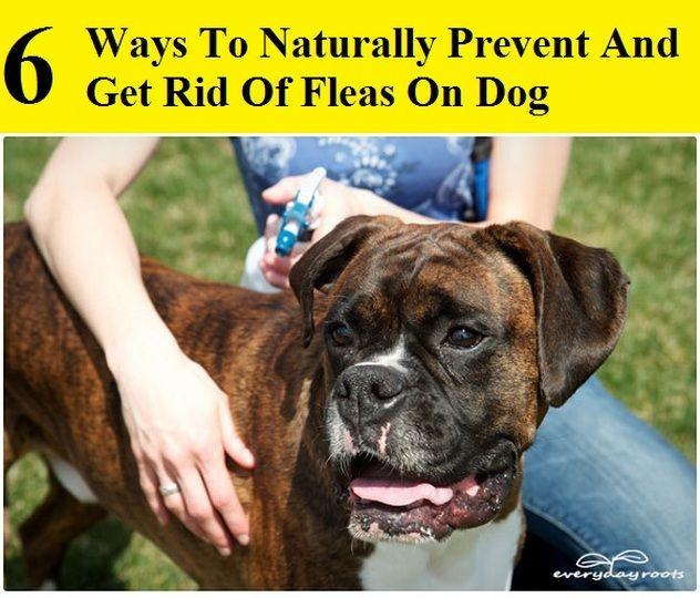 Homemade Natural Flea Killer For Dogs