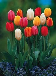 TulipShrubs Trees, Flower Shrubs, Flower Bulbs, Gardens Flower