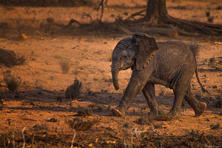 Cute Baby Desert Elephant #elephant