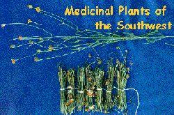 Thelesperma megapotamicum - Navajo tea, Greenthread, Hopi Tea -- Medicinal Plants of the Southwest