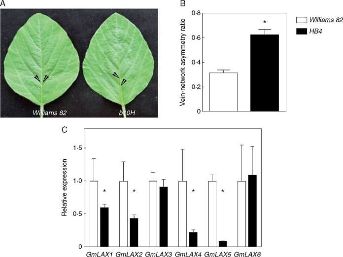 The characterization of transgenic plants expressing the sunflower transcription factor HaHB4 uncovered a new role for the lateral auxin influx carrier LAX2 in venation patterning and xylem vasculature development. Most of single and multiple mutants for AUX/LAX genes presented an enhanced asymmetry in the venation patterning.  Ectopic expression ofHaHB4in transgenic soybean leaves enhances the asymmetric formation of secondary vein pairs. (A) Illustrative photographs of the terminal…