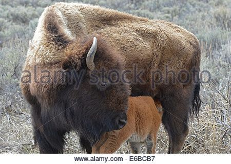 European Bison; USA, Wyoming, Bison Cow and Calf, Yellowstone National  Park. - Stock Photo