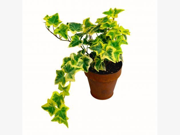 best 25 hedera helix ideas on pinterest plants indoor indoor house plants and indoor ivy. Black Bedroom Furniture Sets. Home Design Ideas