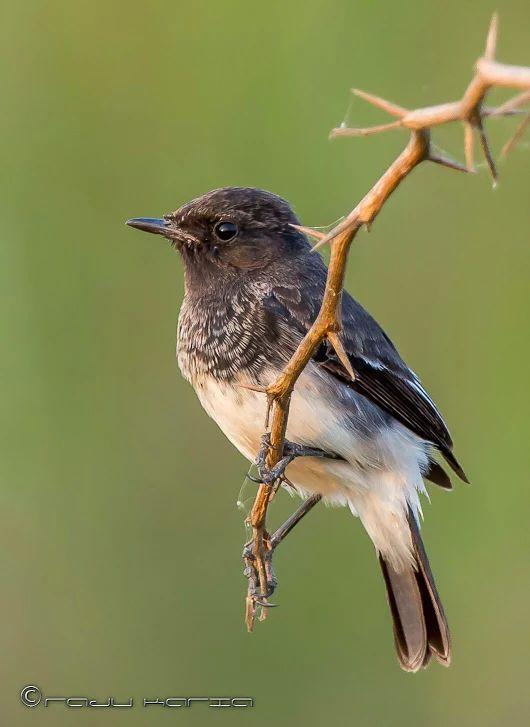 Tarier Pie // Pied Bush Chat (Saxicola Caprata) #aves #animalia #fauna #muscicapidae