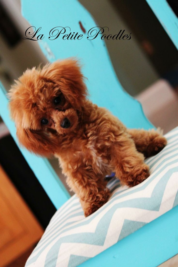 Platinum tea cup poodles for sale dog breeds picture - Aren T Teacup Poodles The Cutest Red Baby Poodle Www