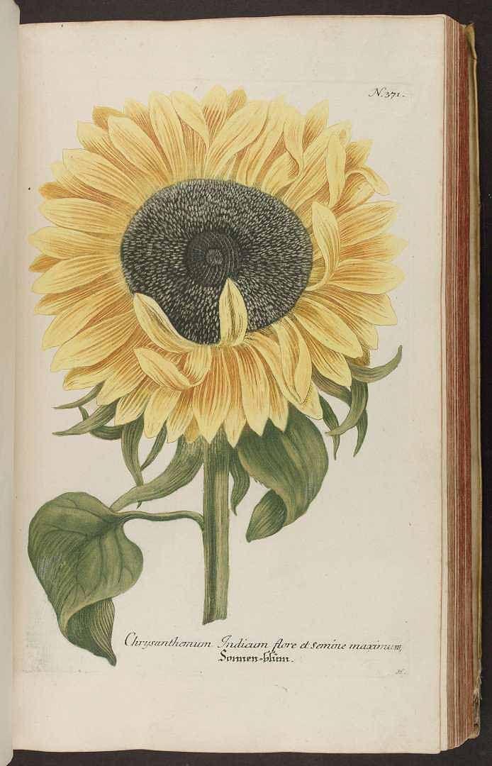 Helianthus annuus L. [as Chrysanthemum Indicum flore et semine maximum]. Weinmann, J.W., Phytanthoza iconographia, vol. 2: t. 371 (1739) [unsigned]