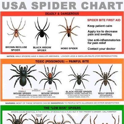 wolf spider size chart - Heartimpulsar