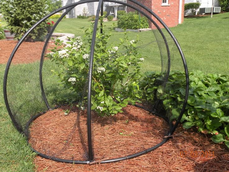 "DIY blueberry cage - ""Made with 1/2"" PVC tubing and 6 T-connectors. Make sure the connectors angle out away from the base of the plant at a 45 degree angle to give it it's round shape.... It is held down with T-bar stakes. It is easy to turn the stake and remove it for picking..."""