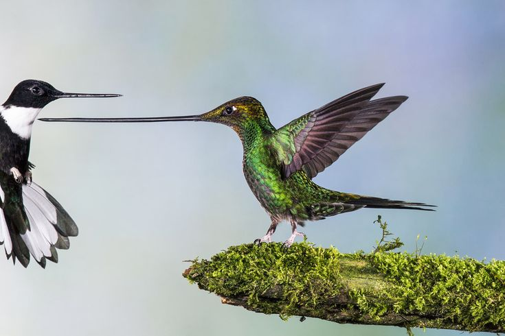 A sword-billed hummingbird chasing away a collared inca. | 9 Wildlife Photographs That Are Heartbreaking, Eerie And Beautiful