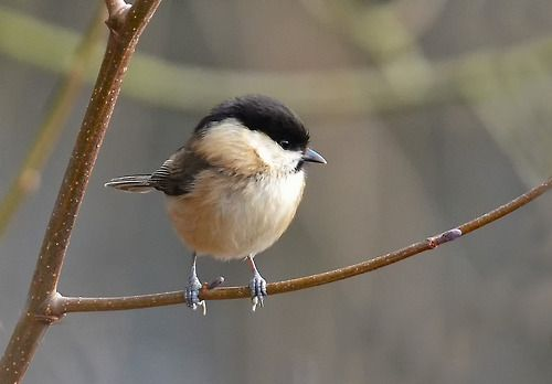 The Willow Tit (Poecile montanus) is a passerine bird in the tit family Paridae. It is a widespread and common resident breeder throughout temperate and subarctic Europe and northern Asia.