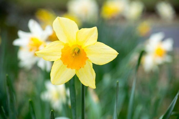 """Photo """"Daffodil"""" by rosemarylang"""